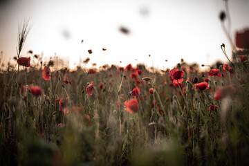 Foto op Canvas Poppy poppy flower field in the evening