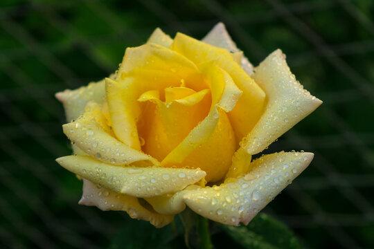 Yellow rose with dew drops, grade Cyrano de Bergerac.