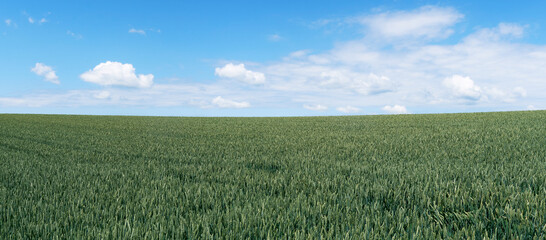 Foto auf AluDibond Khaki Green wheat field landscape panorama with a blue sky and white clouds in early summer.