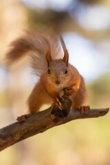 Papiers peints Squirrel Cute baby squirell close up portrait. Looks like curious