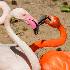 Two flamingo heads pink and red color heart shaped