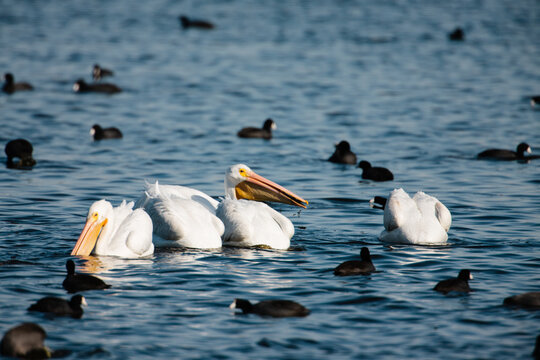 American White Pelicans swimming and feeding in mid-autumn off the bottom aquatic vegetation of a shallow lake within the Horicon National Wildlife Refuge, Wisconsin