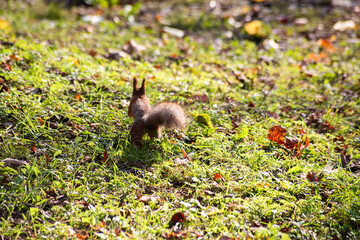 Squirrel runs away in bright sunny day, soft focus