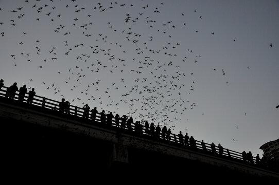 bats coming out at night at Lady Bird Lake, Austin, Texas, USA