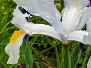White iris flower with rain drops in garden detail