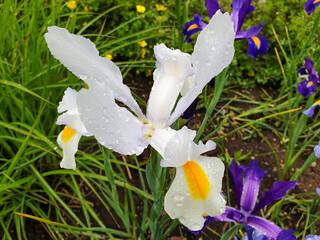 White iris flower with rain drops in garden
