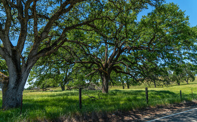 Foothills and Oak Trees-015