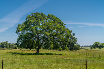 Foothills and Oak Trees-016