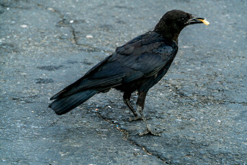 Crow and French Fry-001