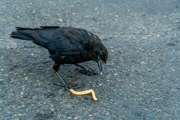 Crow and French Fry-002