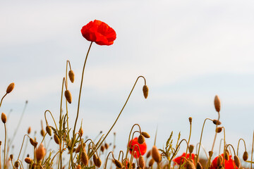Foto op Canvas Poppy red poppy flowers on the green plain on a beautiful summer day