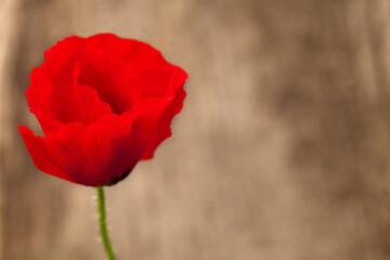 Obraz Kwiat maku na rozmytym tle. - fototapety do salonu