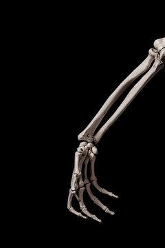 human forearm skeleton anatomy bone