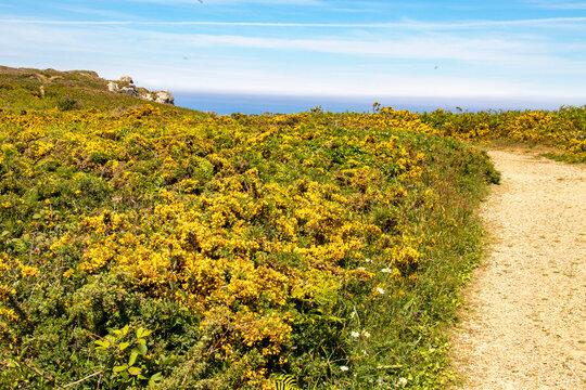 Cléden-Cap-Sizun. Ponite de Penharn. Sentier côtier parmi les ajoncs de Le Gall en fleurs dans la lande. Finistère. Bretagne