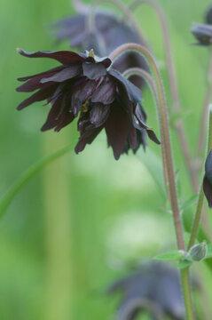 Aquilegia hybrid flower, close up