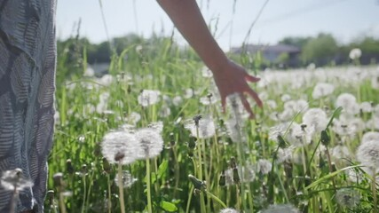 Wall Mural - Woman walks in field. Young woman walks in the summer filed with dandelions and touches the fluffy plants