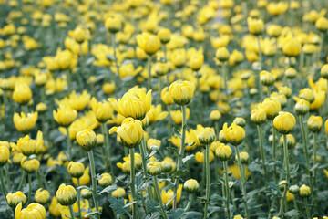 Yellow Chrysanthemum Flower(Chrysanthemum morifolium).