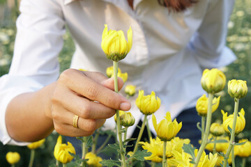 Asian woman caught early chrysanthemum
