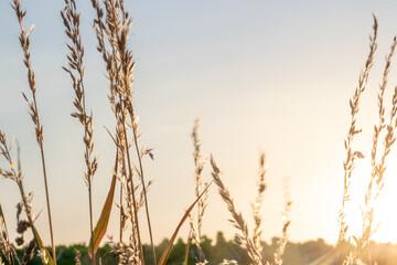 Wheat field at sunset Fotoväggar