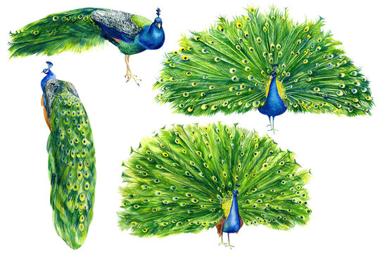 Set of drawings of peacocks on an isolated white background, beautiful bird watercolor, hand drawing