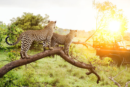 Safari in Africa with two leopards