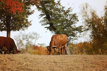 Wall Mural - Texas Longhorn cow grazing in fall pasture on farm.