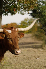 Wall Mural - Texas longhorn cow close up with horns, fall color in background.