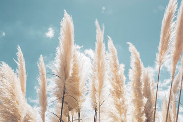 Pampa grass with light blue sky and clouds