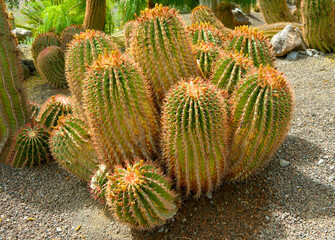 Mexican Fire Barrel Cactus