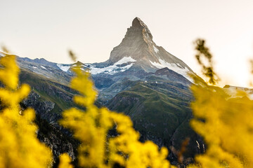 Zermatt, Switzerland. Matterhorn mountain near Grindjisee Lake with flowers in the foreground....