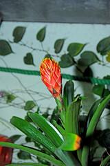 Obraz Kwiat czerwony - fototapety do salonu