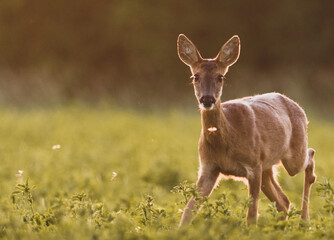 Papiers peints Roe roe deer in the grass