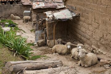 Papiers peints Amérique du Sud A group of sheep resting in home.