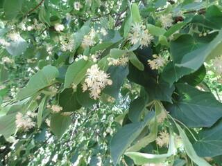 linden flowers, linden blossom, linden blossomed, linden tree, linden tree with flowers