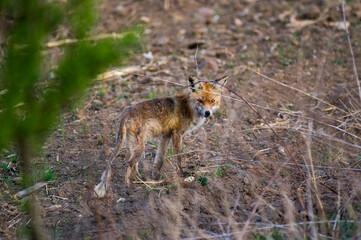 Fototapeta Mały wychudzony lis na skraju drogi