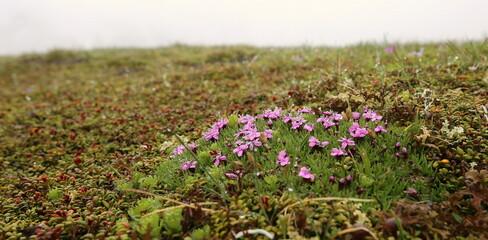 Violette kleine Alpenblumen.