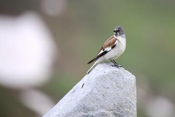 Sperling, Vogel, Schneefink wildlife.