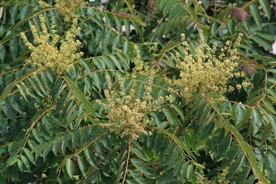 Branches of Ailanthus altissima tree with leaves and flowers