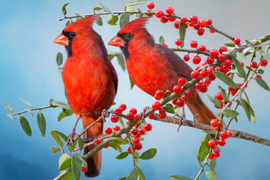 Male Northern Cardinals Perched on Berry Laden Branches in Holly Tree