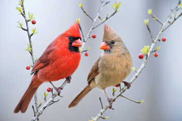 Red Bird or Northern Cardinal Mates Perched on Holly Branches