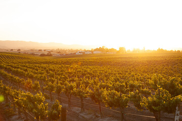 romantic vineyard at sunset with golden light flooding the picture