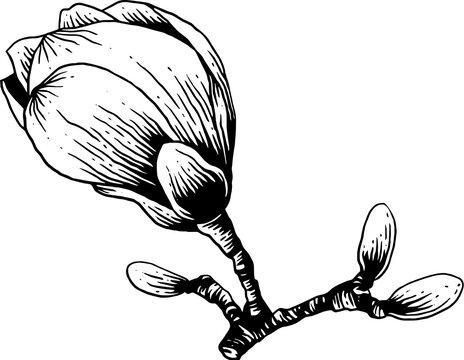 vintage hand drawn line art sketch magnolia flower
