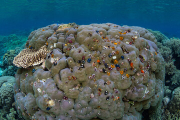 Wall Mural - Colorful Christmas tree worms grow on a large boulder coral in the Solomon Islands. Christmas tree worms are found on coral reefs throughout the world.