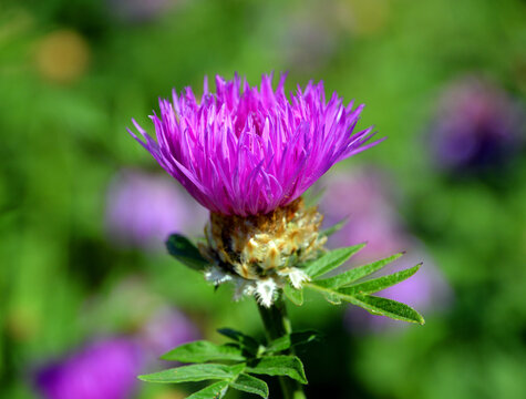 Knapweed, Centaurea  is a genus of between 350 and 600 species of herbaceous thistle-like flowering plants in the family Asteraceae.