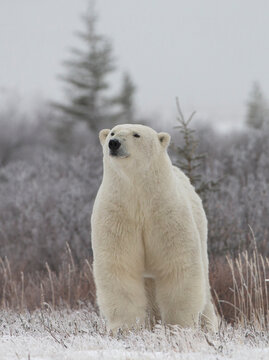 Polar Bear in sub arctic Canada on Hudson Bay