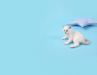 White fold Scottish breed kitten lies on a blue background next to the pillow, studio photography