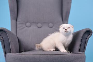 White fold Scottish breed kitten in a gray armchair in a photo studio