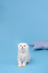 White fold Scottish breed kitten sits and looking up, studio photography on a blue background