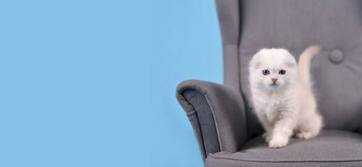 White fold Scottish breed kitten, in a gray armchair, studio photo on a blue background with a copy space