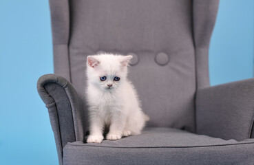 White sad Scottish breed kitten sitting in a gray armchair on a blue background in a photo studio, studio photography